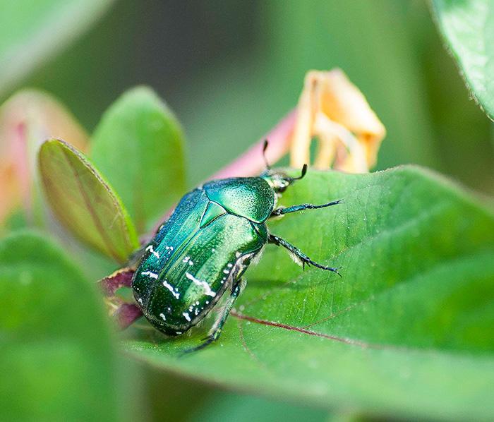 03 RSC escarabajo
